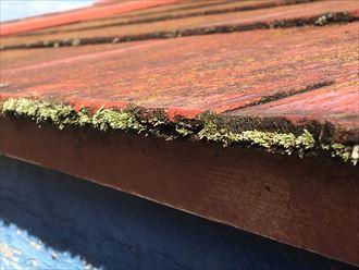 屋根の端などにも繁殖