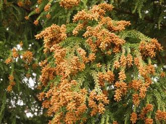 花粉症に影響の少ない千葉県特産「サンブスギ」