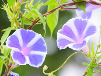 夏を彩る植物の代表、アサガオ