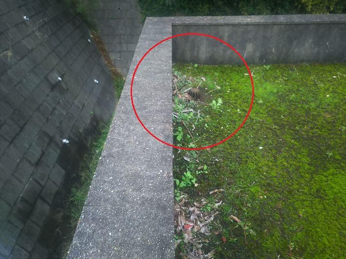 土埃や苔が溜まった陸屋根の排水口