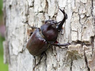 成虫のカブトムシ
