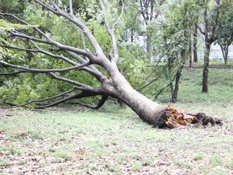 強風に倒れた木