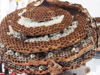 地中につくられたスズメバチの巣