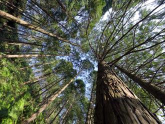 林の中の檜