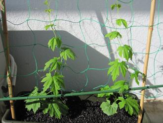 ゴーヤの栽培