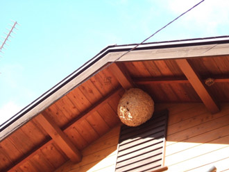 軒天のスズメバチの巣