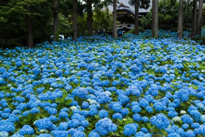 梅雨の時期の花、紫陽花