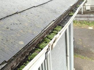 雨樋の中に溜まった土に苔が生えてしまった