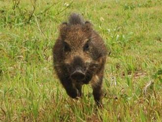 猪突猛進のイノシシ