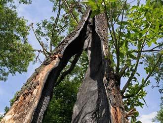 落雷によって裂けた木 内部が黒く炭化している