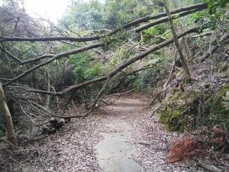 大木が倒れている