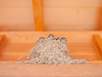 軒下のツバメの巣とヒナ